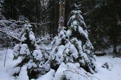 Choinki zakrywać z śnieżnymi kapeluszami Sosnowy zima las obrazy stock
