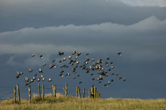 Choir of birds flying from a fence in the meadow Stock Images
