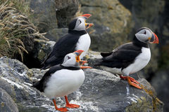 A Choir of Clowns, Atlantic Puffins Stock Photo