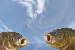 Choir two fish. Love spring and good weather Stock Photography