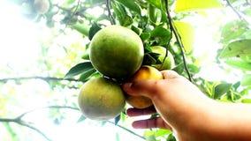 Choisir les oranges mûres banque de vidéos