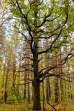Choisissez l'arbre branchu sur le fond des troncs verticaux de pin dans la forêt Photos libres de droits