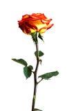 Rose sur un fond blanc Image stock