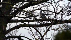 Choisissez la colombe sur des branches d'arbre un jour pluvieux banque de vidéos
