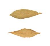 Choisissez la feuille de laurier sèche d'isolement Photos stock