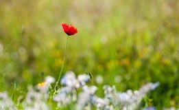 Choisissez la fleur rouge de pavot dans le domaine vert Images stock