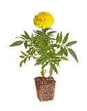 Choisissez la jeune plante jaune-fleurie de souci montrant le rootball prêt Photo libre de droits