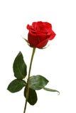 Choisissez la rose de rouge avec des baisses de rosée d'isolement sur le blanc Photos stock
