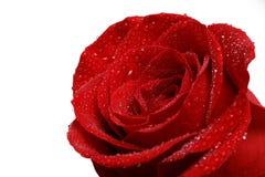 Choisissez la rose de rouge avec des baisses de rosée d'isolement sur le blanc Image stock
