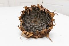 Choisissez la tête fraîchement sèche de tournesol photo stock