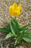 Choisissez la tulipe jaune en pleine floraison s'élevant sur le chemin de gravier Photos stock