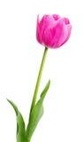 Choisissez la tulipe rose tôt photographie stock libre de droits