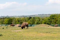 Choisissez le bison européen sur le champ mangeant l'herbe Image libre de droits