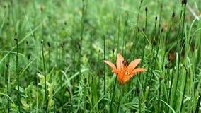 Choisissez le daylily orange d'hémérocalle dans l'arrangement vert de forêt banque de vidéos