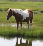 Choisissez le poney brun et blanc Photo libre de droits
