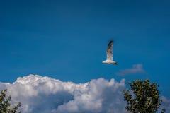 Choisissez le vol blanc de mouette dans le ciel d'été photographie stock libre de droits