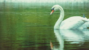 Choisissez les cleanes blancs de cygne sa plume, le plumage, l'eau foncée de la réflexion de lac clips vidéos