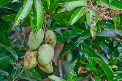 Choke anan mangoes hanging on tree Royalty Free Stock Photo