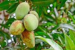 Choke anan mangoes hanging on tree Stock Photo