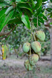 Choke anan mangoes hanging on tree Stock Photography
