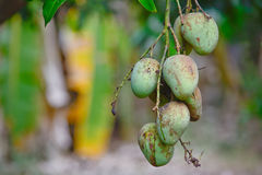 Choke anan mangoes hanging on tree. And mango garden background royalty free stock images
