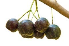 Choke-berry. Choke-berries at its bush royalty free stock photos