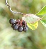 Choke berry. Bush in autumn time Stock Photos