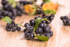 Choke-berry (aronia) - branch with berries. And leaves stock photography