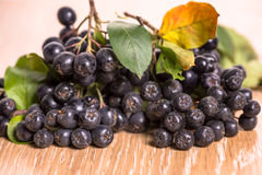 Choke-berry (aronia) - branch with berries. And leaves royalty free stock image