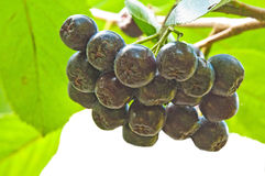 choke-berry Aronia melanocarpa Stock Photography