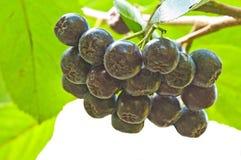 choke-berry Aronia melanocarpa stock photography