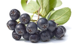 Choke-berry,Aronia melanocarpa Royalty Free Stock Photo