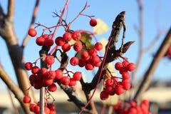 Choke Cherries. Red choke cherries Stock Images