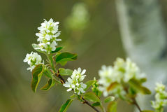 Choke Cherry Blossom Stock Images