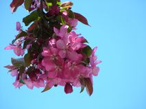 Choke Cherry Blossoms against CO Blue Sky stock photo