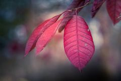 Choke Cherry Tree. The remaining leaves on a choke cherry tree in mid autumn stock photography