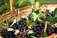 Chokeberries (Aronia) berries in basket royalty free stock photography