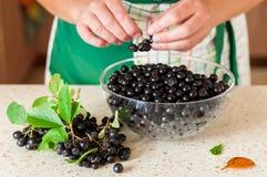 Chokeberries de uma colheita da mulher fora do galho imagens de stock