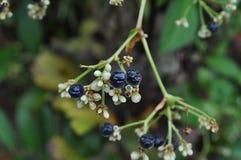 Chokeberries et fleurs noirs Images stock