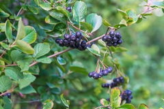 Chokeberries maduros de las bayas en la rama Imagenes de archivo