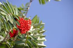 chokeberry κόκκινο Στοκ Φωτογραφία
