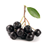 Chokeberry με το φύλλο που απομονώνεται στο άσπρο υπόβαθρο Μαύρα μούρα aronia Στοκ Φωτογραφίες