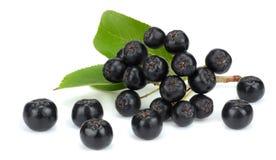 Chokeberry με το φύλλο στο άσπρο υπόβαθρο Μαύρο aronia Στοκ Εικόνα