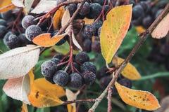 Chokeberry που καλύπτεται με το hoarfrost Στοκ Εικόνα