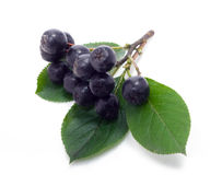 Chokeberry Stock Photo