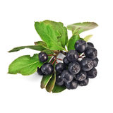 Chokeberry Royalty Free Stock Images