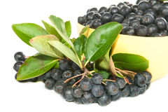 Chokeberry. Royalty Free Stock Images
