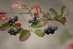Chokeberry Royalty Free Stock Photography