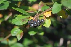 chokeberry Fotografie Stock Libere da Diritti