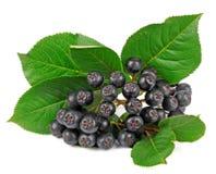 chokeberry Στοκ φωτογραφία με δικαίωμα ελεύθερης χρήσης